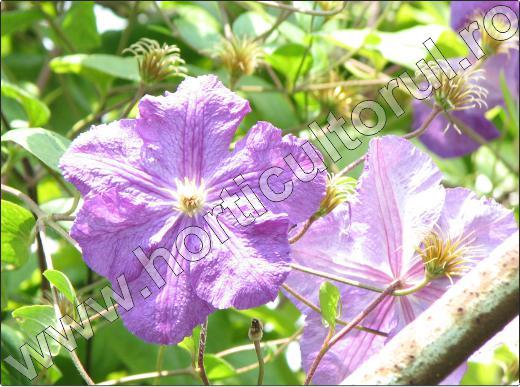 Clematis-clematite-mov-floare-ingrijire