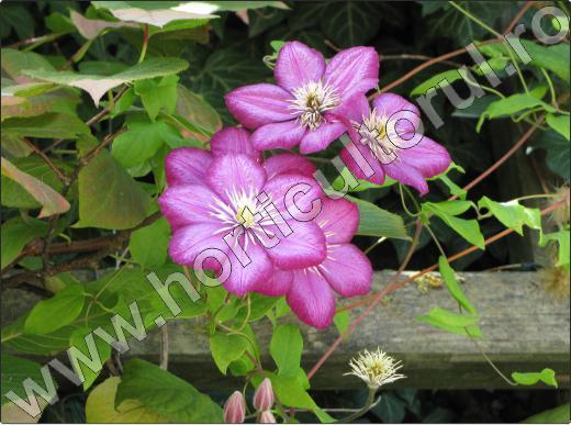 Clematis-jackmanii-mov-roz