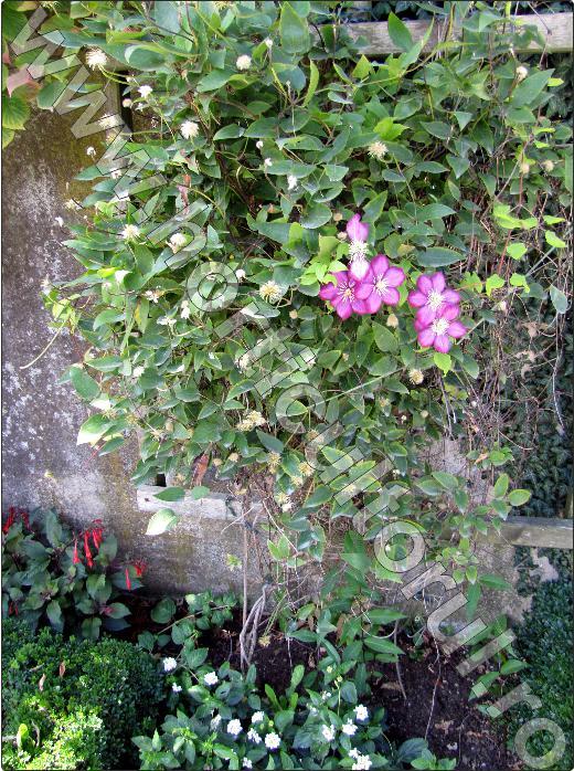 Clematite-flori-cataratoare