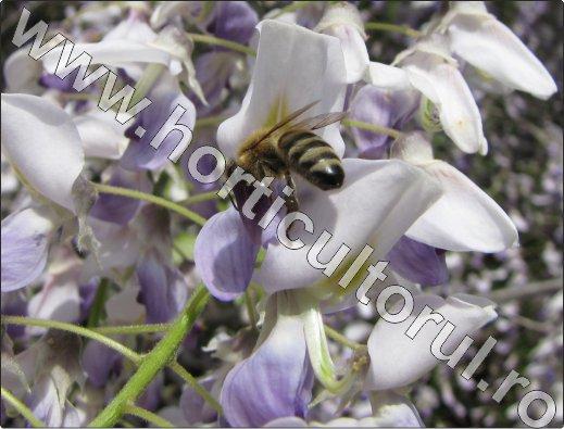 Glicina -Wisteria-albina-melifera