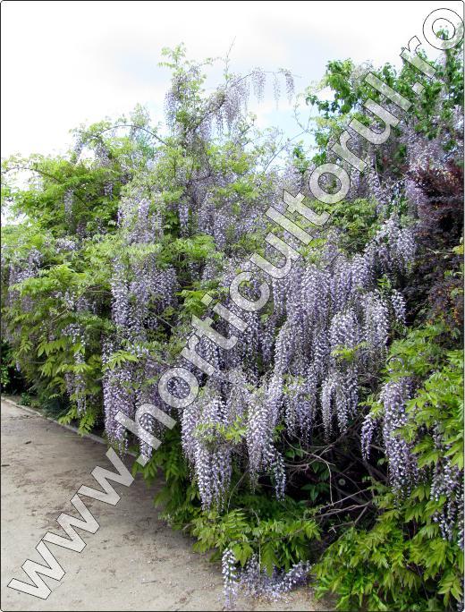 Glicina -Wisteria floribunda