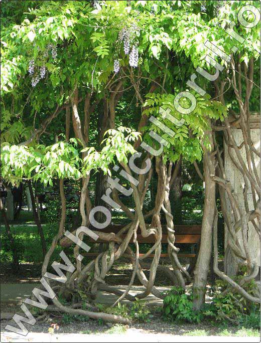 Glicina-Wisteria-planta-liana-cataratoare