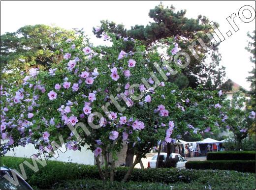 Hibiscus-syriacus-arbust-cu-flori