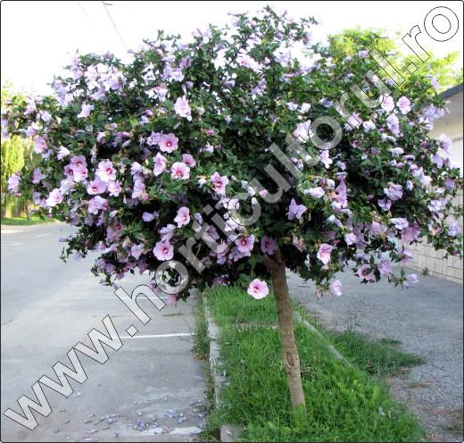 Planta hibiscus hibiscus syriacus gard viu inmultire for Arbusti ornamentali