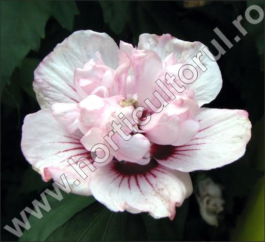 Hibiscus-syriacus-gard-viu-flori