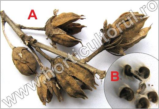 Hibiscus-syriacus-inmultire-seminte
