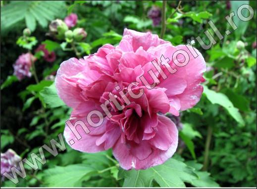 Hibiscus-syriacus-inmultire