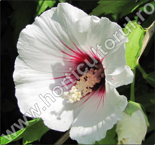 Hibiscus-syriacus-poze