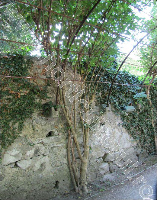 Iasomia-Philadelphus-coronarius-pergola superba