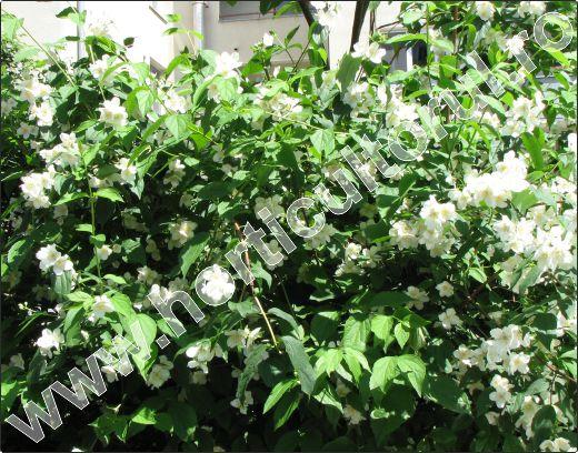 Iasomie-gard-viu-flori-albe