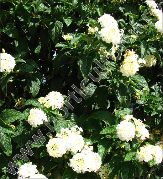 Lantana-camara-arbusti-gradina-2