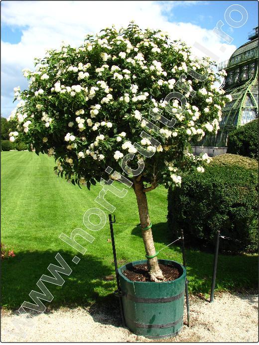 Lantana-camara-arbusti-gradina-flori-albe-3.jpg