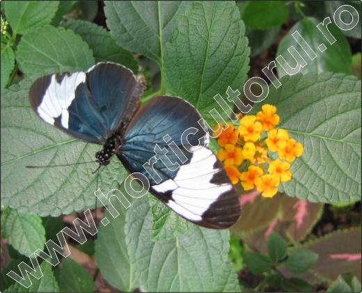 Lantana-camara-fluture-floare-11
