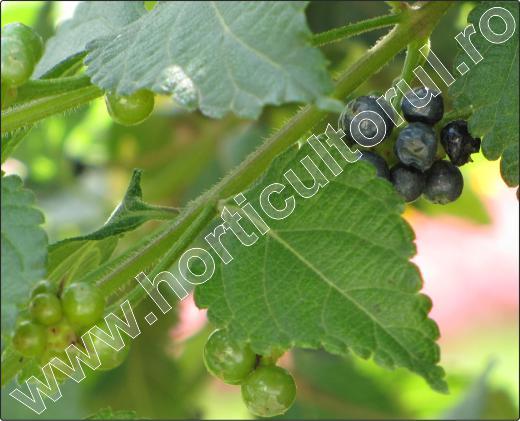 Lantana-camara-fructe-10.jpg