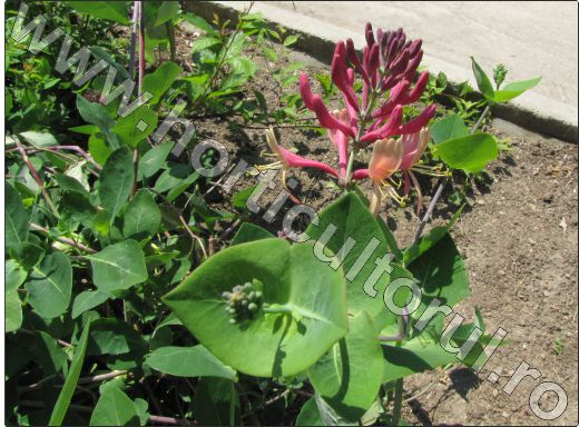 Lonicera-caprifolium-floare-superba