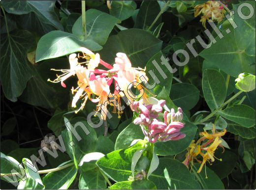 Lonicera-caprifolium-ingrijire