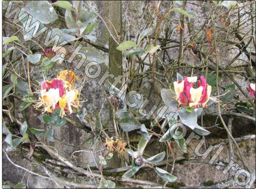Lonicera-caprifolium-planta-gradina-cataratoare-flori