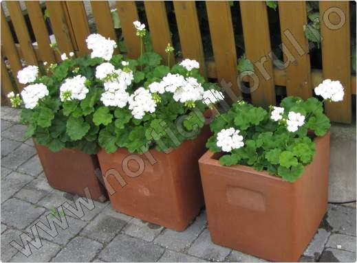 Muscata_Pelargonium spp_2