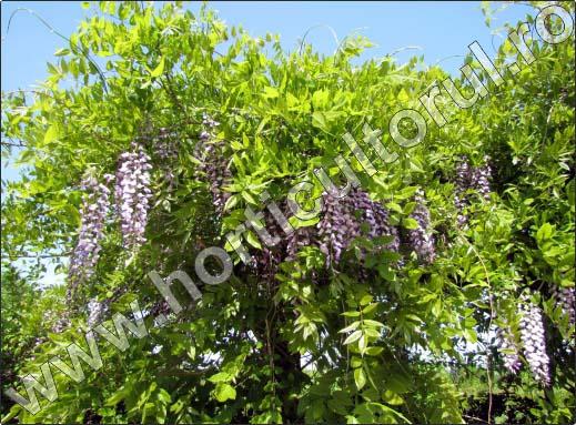 Glicina wisteria inmultire ingrijire for Glicina planta