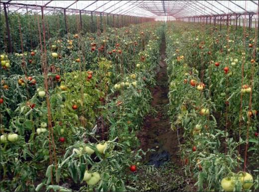 Cultura in solar de tomate PREKOS F1