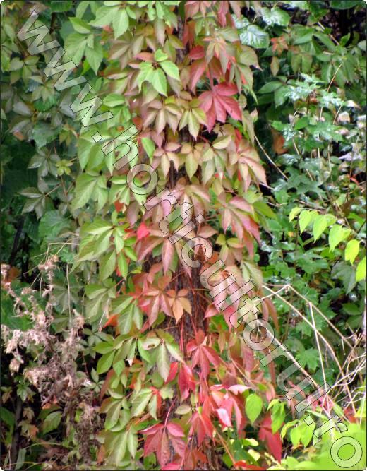 Vita-de-Canada-flori-agatatoare