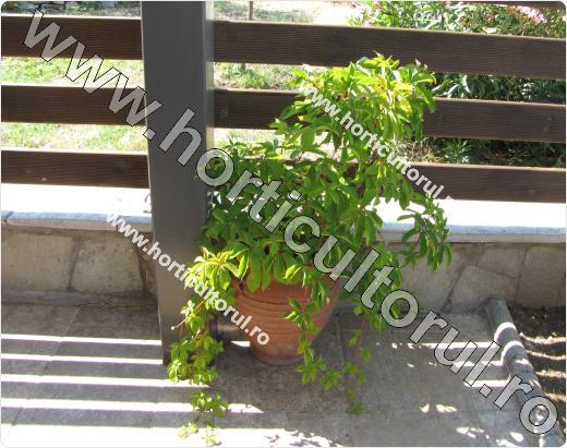 Vita de Canada_Toamna_Parthenocissus quinquefolia