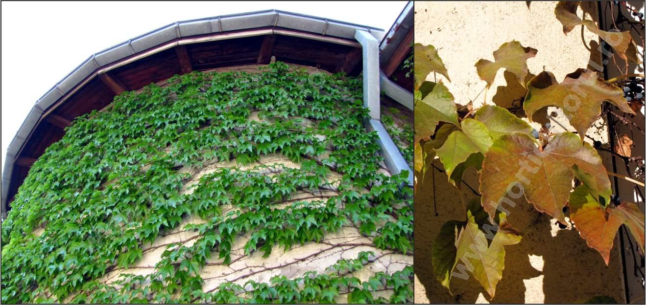 Vita japoneza (Parthenocissus tricuspidata)