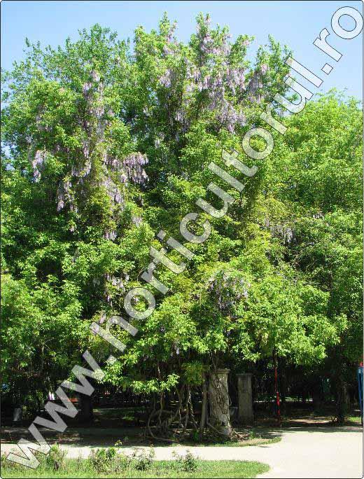 Wisteria-planta-cataratoare-cu-flori