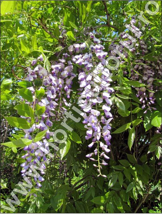 Wisteria-sinensis-Floare