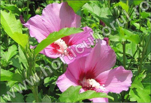 Zamosita-de-Siria-Hibiscus-syriacus