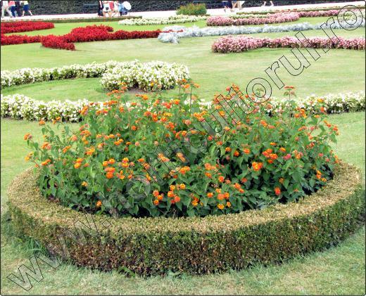 arbusti-decorativi-Lantana-camara-8