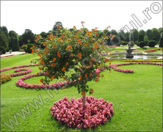 arbusti-decorativi-cu-flori-Lantana-7