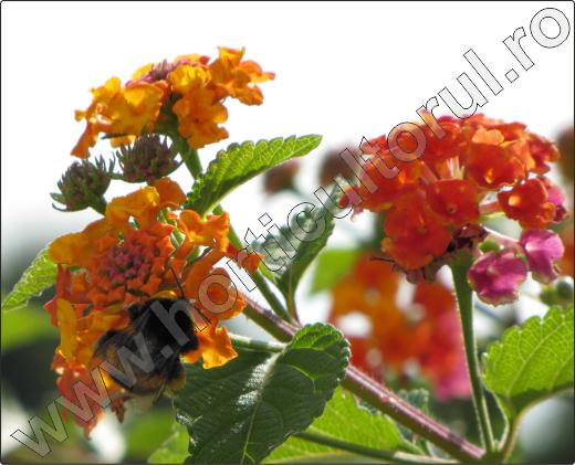 arbusti-decorativi-gradina-Lantana-6