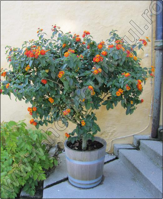 arbusti-ornamentali-Lantana-camara-9