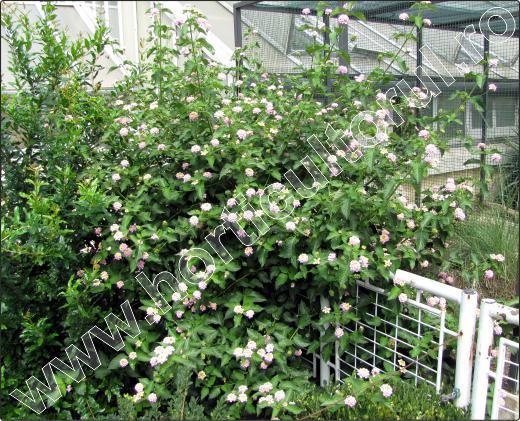 arbusti-ornamentali-cu-flori-lantana-12