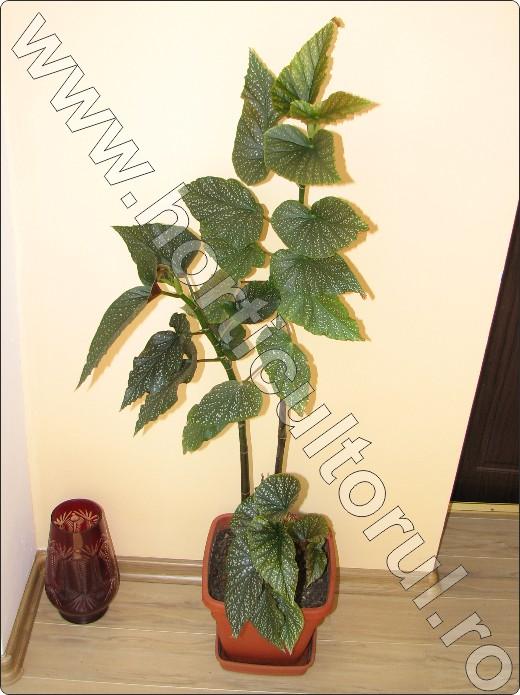 begonia-coralina-floare-frunze-begonii