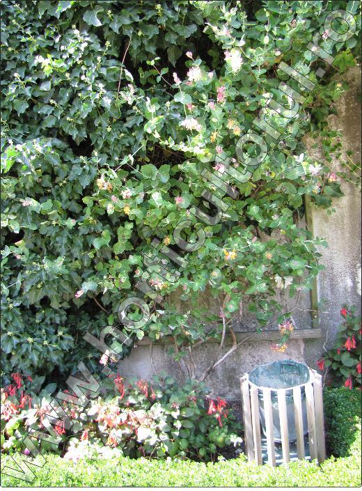 caprifoiul-inmultire-pergola-planta