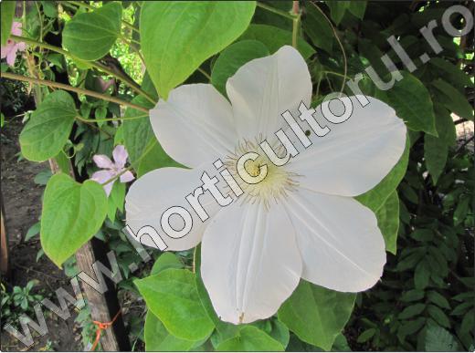 clematite-flori-de-gradina-cataratoare