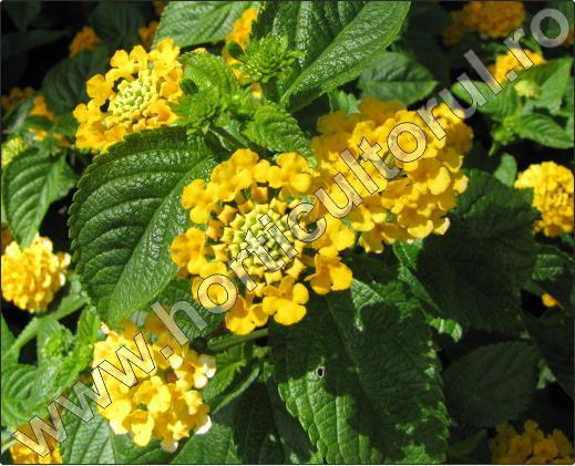 copaci-ornamentali-cu-flori-Lantana-15