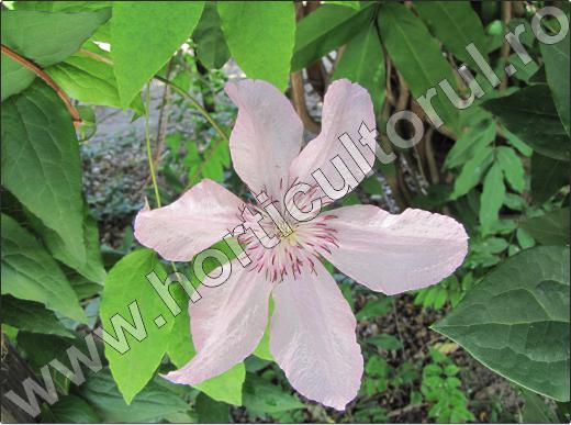 flori-cataratoare-de-gradina-clematis