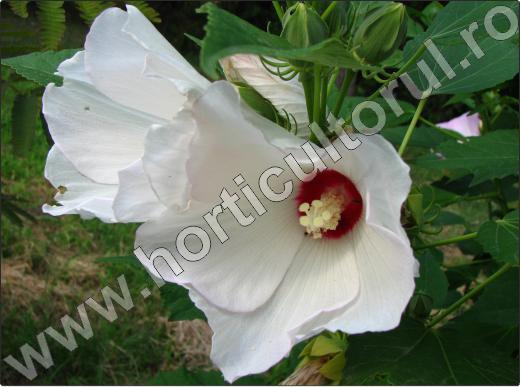 hibiscus-moscheutos-flori-gradina
