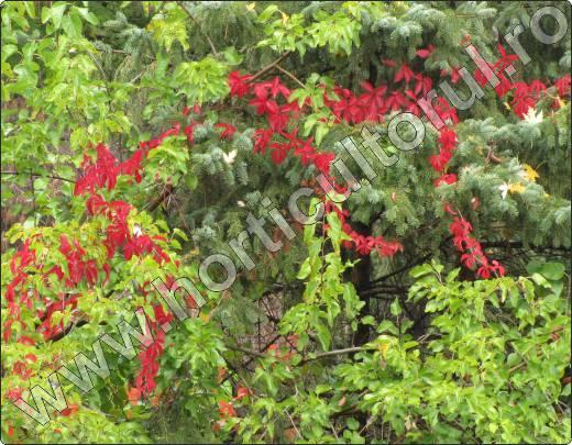 parthenocissus-quinquefolia-inmultire