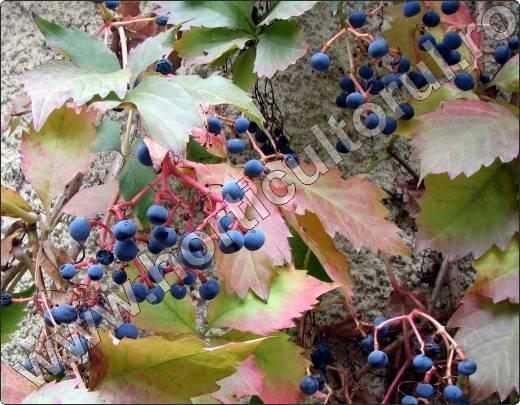 parthenocissus-quinquefolia-vita-de-canada-fructe