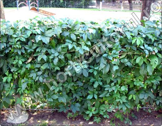plante-agatatoare-Vita-de-Canada-parthenocissus-quinquefolia
