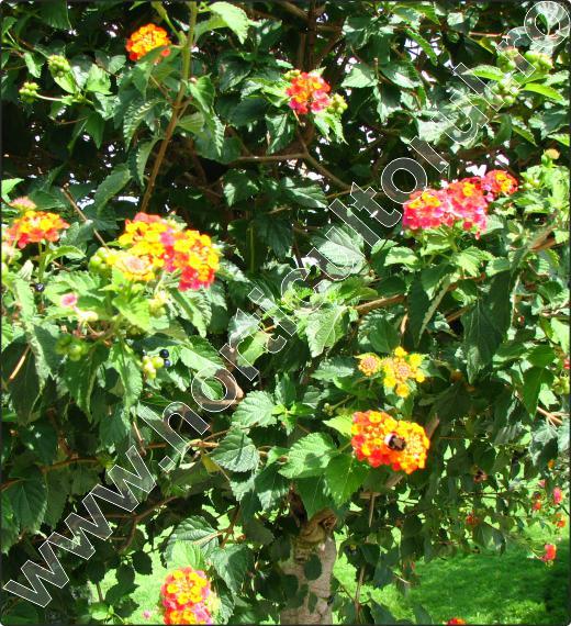 plante-arbusti-Lantana-camara-4