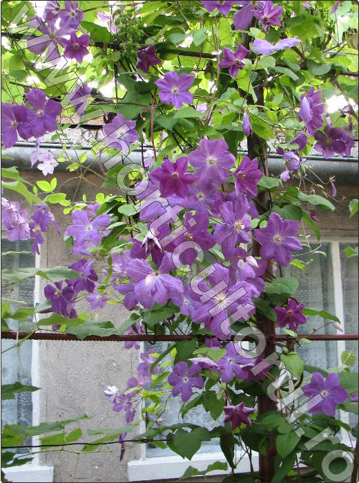 plante-de-gradina-cataratoare-Clematis