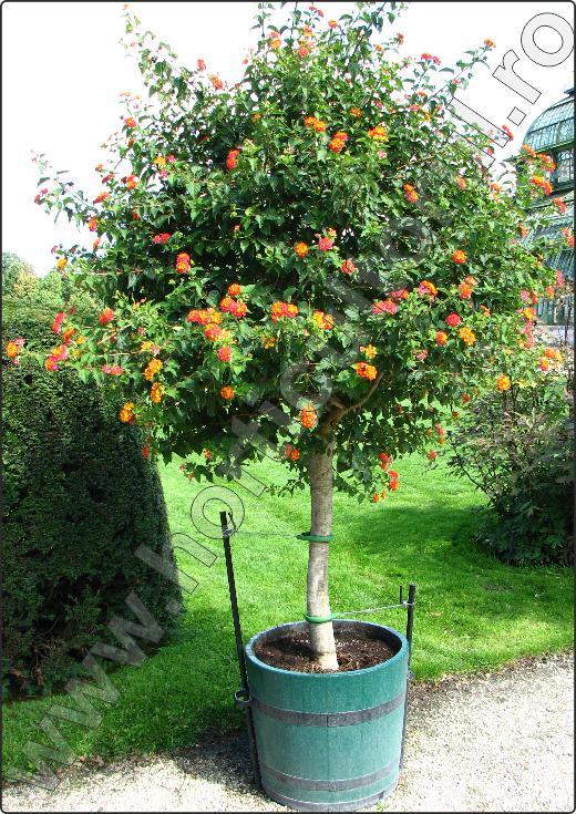 Lantana camara arbusti decorativi cu flori superbe for Plante decorative