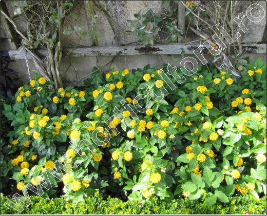 pomi-ornamentali-cu-flori-Lantana