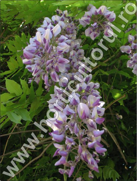 wisteria-floribunda-inmultire