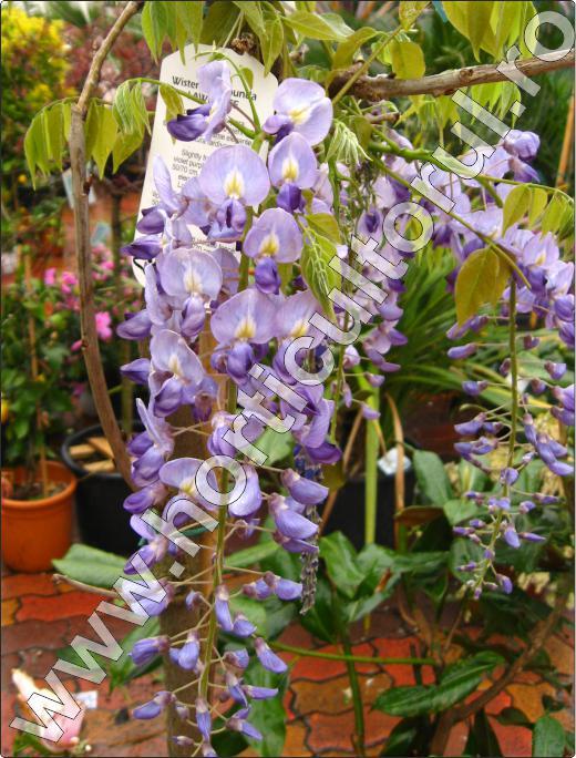 wisteria-floribunda-lawrence-floare-planta-cataratoare